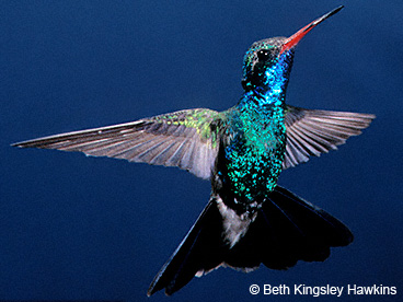 Dazzler Broad-billed Hummingbird