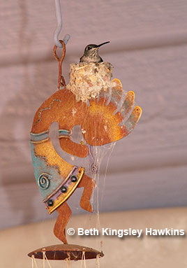 A black-chinned hummingbird built her nest in a covered patio, atop a Kokopelli wind chime; Sedona, Arizona