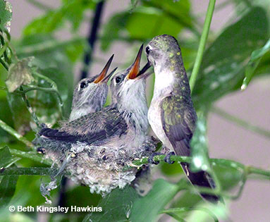 These two young Costa's hummingbird chicks are one day away from fledging. They are actually slightly larger than their mother--Nature's way of giving them a cushion as they learn to feed for themselves.