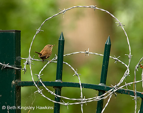 Winter wren on the edge of Monet's Garden encircled by barbed-wire